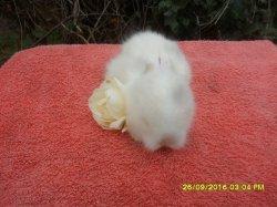 3 bébé de dory et simba angora nain a 3 semaine