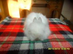 2 bébé de doryet simba angora nain a 1 moi petite femelle