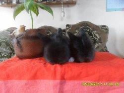 1 nouvelle fotos des 2 bébés de dory et snoupi angora nain a 1 moi