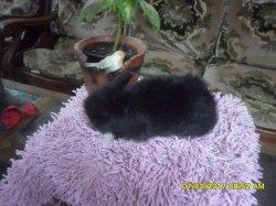 nouvelles fotos du bébé de dory et snoupi angora nain a  5 semaine