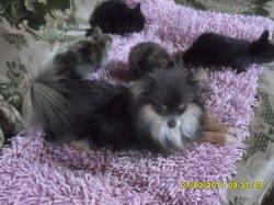 q elle que fotos de me bébés extra nain dans le divans qui se promene avec mon chien luky mon chichi