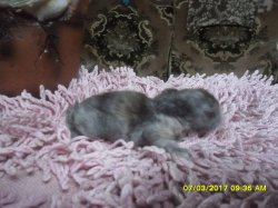 nouvelle fotos des 3 bébés de fifie et junior angora nain a 1 semaines