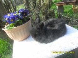 1   nouvelle fotos du bébés de dory et snoupi angora nain  a 6 semaine