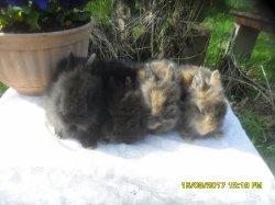 2  nouvelle fotos des 4 bébé de juliette et romeo extra nain a 5 semaine