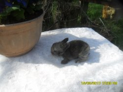 3 nouvelle fotos des 3 bébé de fifie et snoupi angora nain a 2 semaine