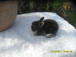 4 nouvelle fotos des 5 bébé de lola tete de lion  et junior angora nain a 2 semaine