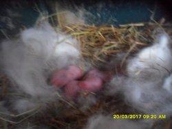 les 3 bébés le jour de leur naissance dimanche 19 mars 2017 maman tarnade et papa eclips angora nain