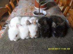 4 nouvele fotos des 5 bébé de lola tete de lion et junior angora nain a 3 semaine