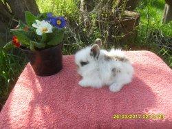 1 bebe de lola tete de lion et junior angora nain a 1 moi/ 4 semaines