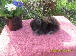 2 bebes de lola tete de lion et junior angora nain a 1 moi /4 semaine
