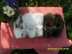les 5 bebes de lola tete de lion et junior angora nain a 1 moi / 4 semaine ansembles