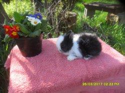 3 bebe de fifie et snoupi angora nain a 1 moi /4 semaine