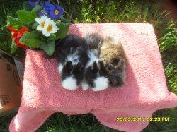 les 3 bebes de fifie et snoupi angora nain a 1 moi /4 semaines ansembles