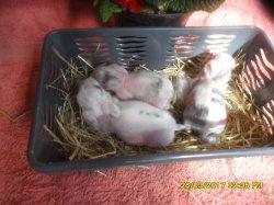 nouvelles fotos des 3 bebe de tornade et eclips  angora nain a 1 semaine