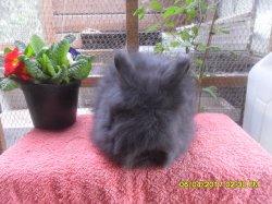 nouvelle fotos du bébé de dory et snoupi angora nain a 2 moi et 2 jour