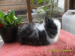1 bebe de fifie et snoupi angora nain a 5 semaines