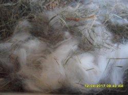 fotos des 5 bebe de moly et snoupi angora nain ne se matin mercredi 12 avril 2017