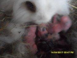 fotos des  5 bébé de moly et snoupi angoa nain a 2 jour