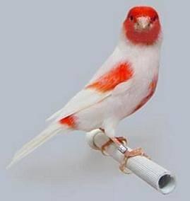 canaris rouge mosaïque