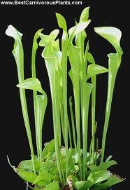 Sarracenia Oreophyla