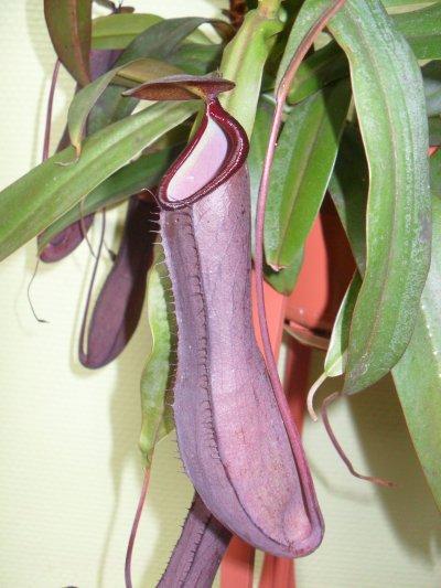 """Quelles différences entre Nepenthes """"Rebecca Soper"""" et Nepenthes sanguinea """"Black Beauty""""  3022375704_1_4_tq3Xr2cm"""