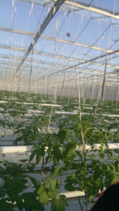 Ont de quoi s'occuper cette année 3 ha de tomates