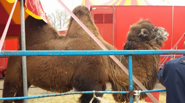 Le cirque achille zavatta à Saint-ouen l'aumone (95) du mercredi 16 au mercredi 30 mars 2016 (Zoo)