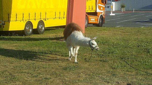 Le Manhattan circus (anciennement T. Zavatta) à Ploubalay (22) du lundi 15 au mercredi 17 août 2016 (Le zoo)