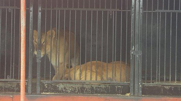 Le cirque Gervais à Ploubalay (22) du dimanche 28 au mardi 30 août 2016 (Le zoo)