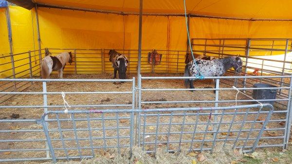 Le cirque de Rome à Argenteuil (95) du 21 octobre au 06 novembre 2016 (Le zoo)