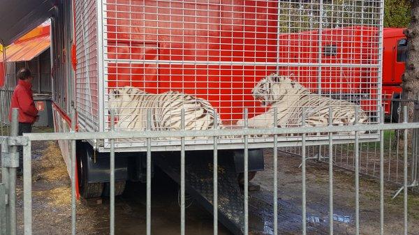 Le cirque Lydia Zavatta à Franconville (95) du mercredi 9 au dimanche 13 novembre 2016 (Le zoo)