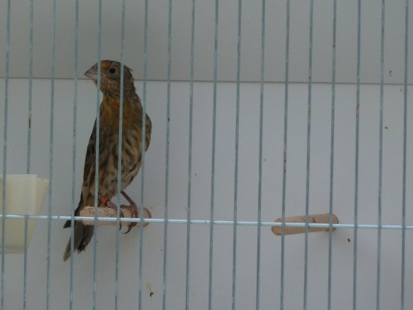 Young house finch male #1