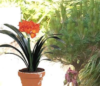 Clivia 1 ere floraison