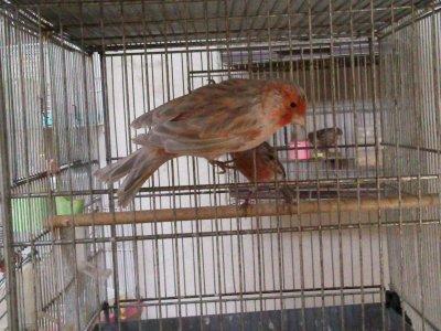 male noir opale rouge mosaique