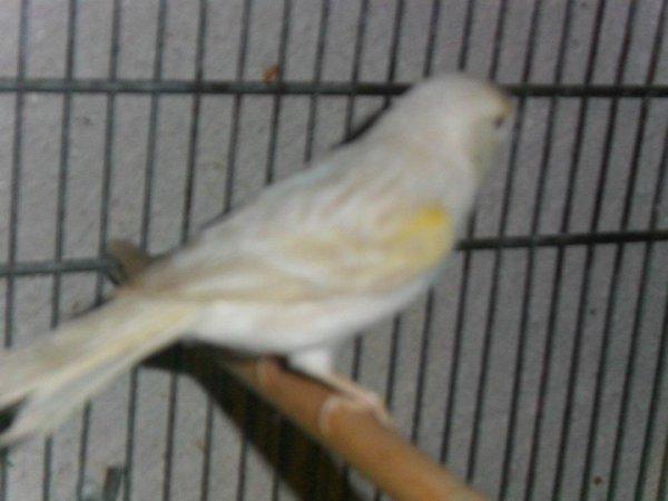 femelle satiné jaune mosaique