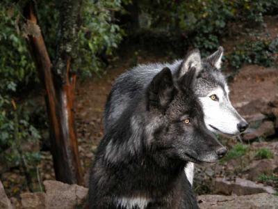 le plus bel annimal sur terre le loup