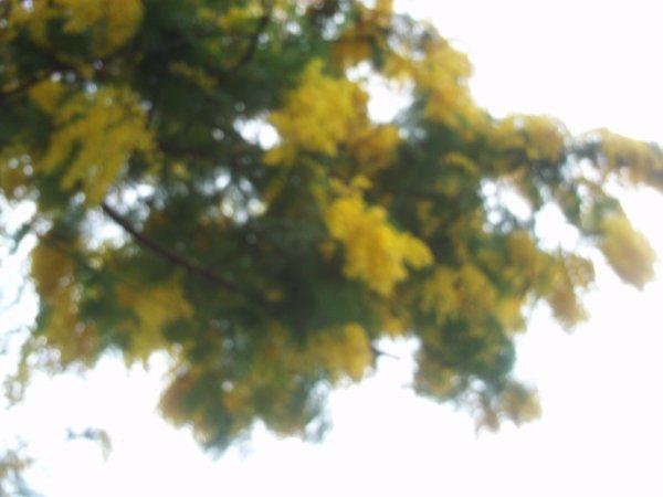 j aime le mimosa !!!