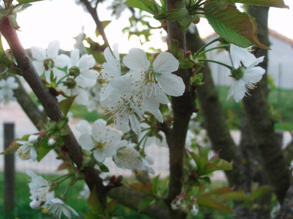 des fleurs avant les fruits