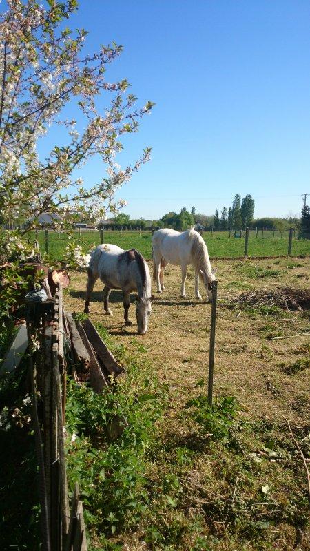 mes chevaux