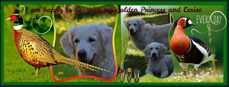 Page facebook Golden retriever Louisette