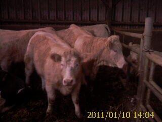 batiment des vaches et des taureaux