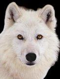 Photo de animals-quileutes-fic