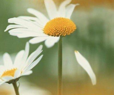 """Résultat de recherche d'images pour """"fleur qui perd pétales"""""""
