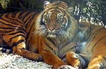 Trés beau tigre