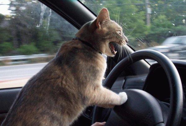 Avez-vous déja vu un chat con duire ? ;-)