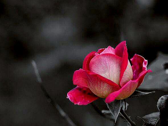 Rose presque ouverte...