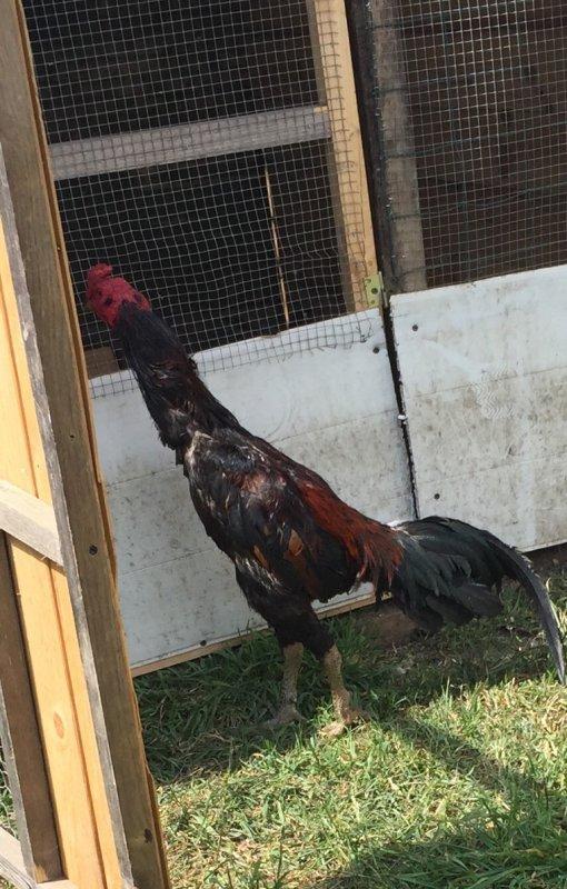 Coq a vendre Viêt 15 mois 3 kilo2