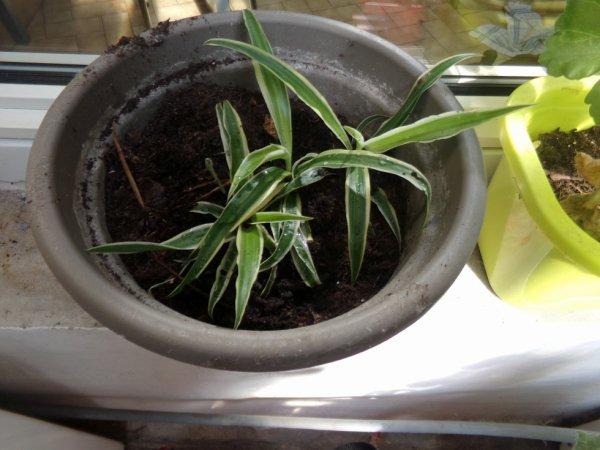 bouture plante araigné