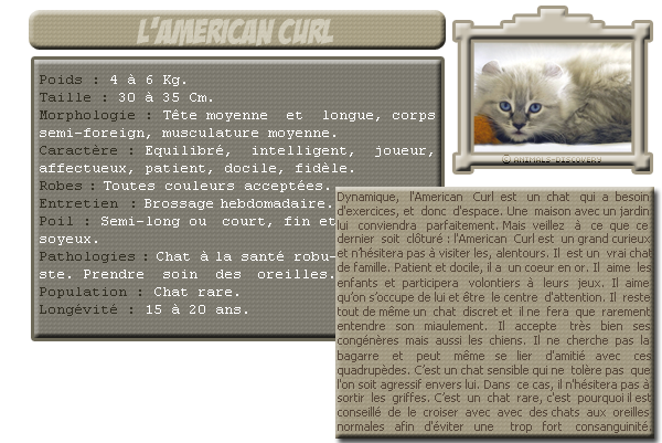 Catégorie : Animaux domestiques, Animal n°4 : L'American Curl.