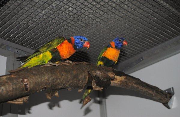 Nouveau couple de trichoglossus heamatodus rubritorquis